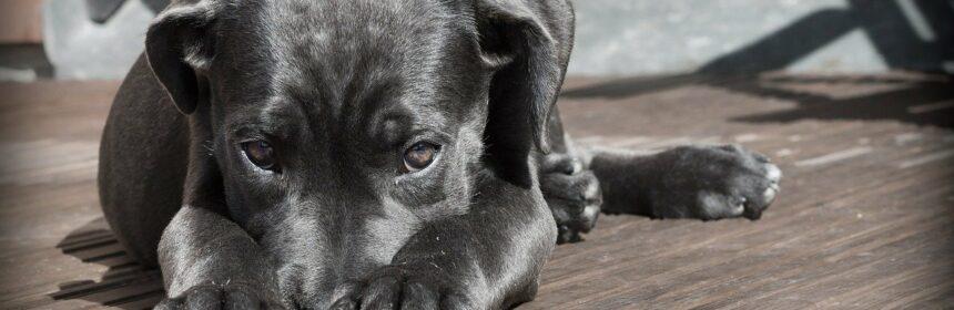 Hundemesse